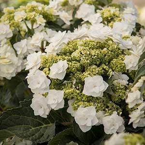2822-Hydrangea-macrophylla-Dancing-Snow-Wedding-Gown_0163_300x_sfw