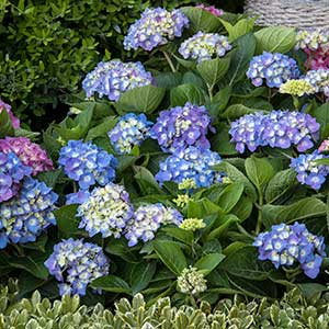 Hydrangea macrophylla Seaside Serenade Cape Cod