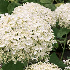 Seaside Serenade® Bar Harbor Hydrangea