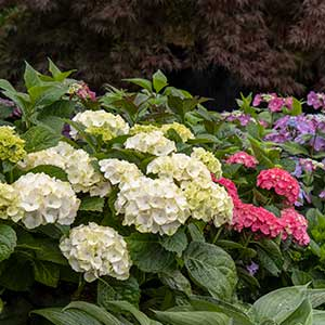 Hydrangea Seaside Serenade® Cape Lookout