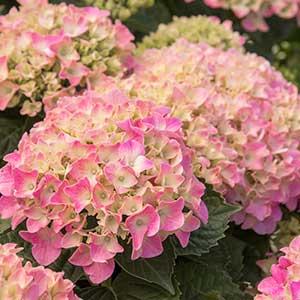 4197-Hydrangea-macrophylla-Monink-Pretty-n-Pink_2105_300x_sfw