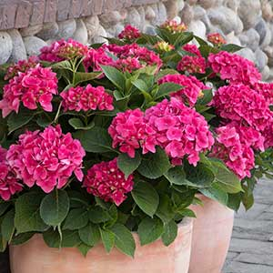 4198-Hydrangea-macrophylla-Monred-Red-N-Pretty_9646_300x_sfw