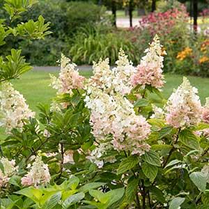 4202_hydrangea_paniculata_ruby_angels_blush_1418m_300x_sfw