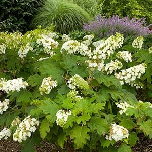 4206-Hydrangea-quercifolia-Snow-Queen_014_300x_sfw