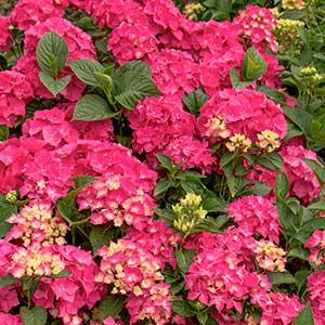 4207-Hydrangea-macrophylla-Pia_017_MS__300x_sfw