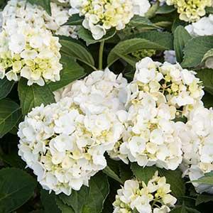4210-Hydrangea-macrophylla-White_1023_300x_sfw