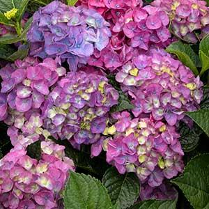 42330_hydrangea_macrophylla_hortmani%E2%80%99_seaside_serenade_newport_5045_300x_sfw