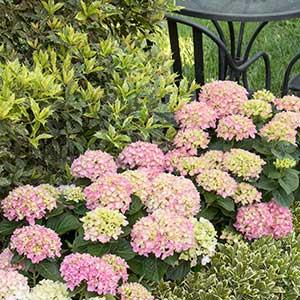 4237-Hydrangea-macrophylla-%E2%80%98MonPKSP%E2%80%99-Pink-Splendor_6592-Pittosporum-tobira-Turners-Variegated-Dwarf_6696_300x_sfw