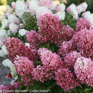 42433-Hydrangea-paniculata-SMNHPRZEP-Zinfin-DollR_CU_-10_PW-ColorChoice_300x_sfw