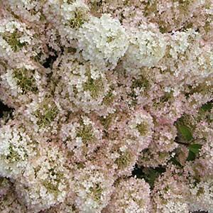 8095-Hydrangea-paniculata-Bobo-MS-bloom-PW_300x_sfw