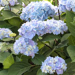 Hydrangea Blue Enchantress