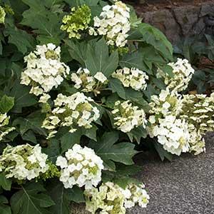 9317-Hydrangea-quercifolia-Munchkin_3928_300x_sfw