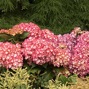 9662-Hydrangea-macrophylla-Fire-Island_1533_300x_sfw