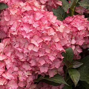 9663-Hydrangea-macrophylla-Hamptons_1643_300x_sfw