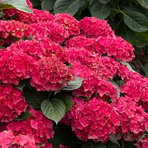 9665-Hydrangea-macrophylla-HORTHAT-Cape-Hatteras_1317_300x_sfw