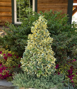 Silver King Euonymus Cone-Shape Topiary