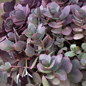 SunSparkler® Firecracker Sedum