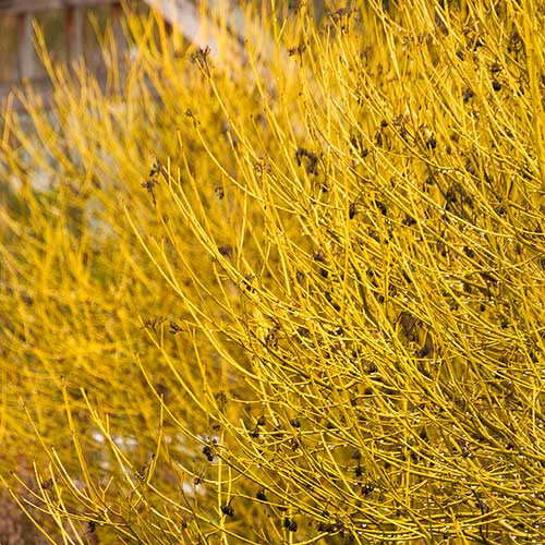 Close up of bare, boldly colored branches of Variegated Red Twig Dogwood