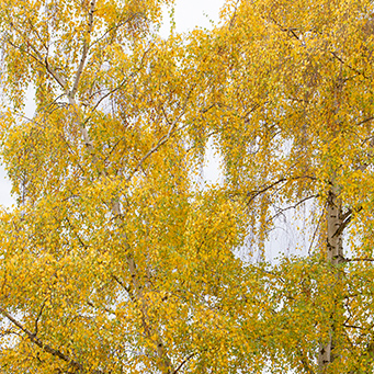 European White Birch