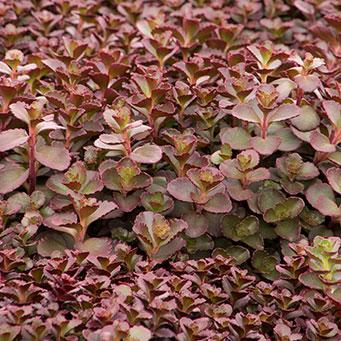 Bronze Carpet Sedum