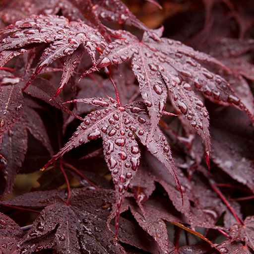 Red-Leaf Japanese Maple