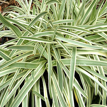 Silver Dragon Lily Turf