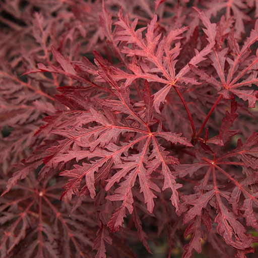 Velvet Viking™ Japanese Maple