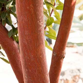 Marina Strawberry Tree