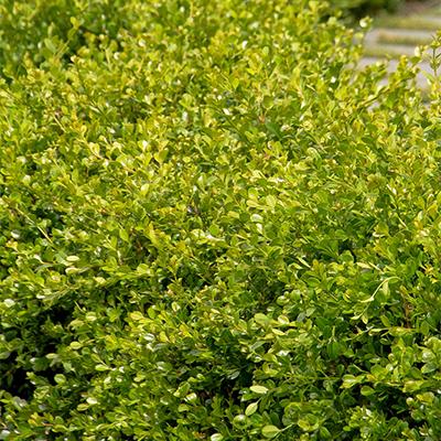 Buxus microphylla japonica 'Winter Gem' USDA Hardiness Zone: 5 - 9